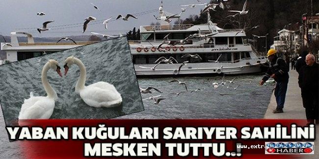 YABAN KUĞULARI SARIYER SAHİLİNİ MESKEN TUTTU..!